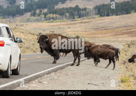 Large male American Bison blocking cars from moving on the highway, so the herd can cross the highway safely, in - Stock Photo