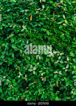 Texture of green leaves. Full coverage of the frame. Natural tex ...