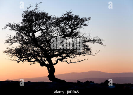 Silhouetted hawthorne tree at Winskill Stones in Ribblesdale, Yorkshire Dales - Stock Photo