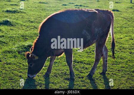 Cow grazing on the animal farm - Stock Photo