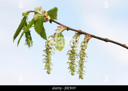 Blossoms of the European hornbeam (Carpinus betulus), Emsland, Lower Saxony, Germany - Stock Photo