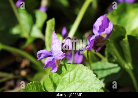 Viola odorata - wild violet - Stock Photo