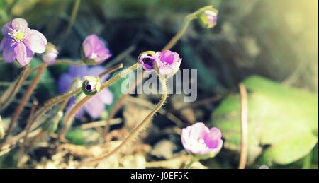 Blue flowers of Hepatica Nobilis also liverwort, kidneywort, pennywort, Anemone hepatica.
