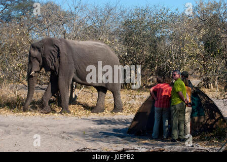 Elephant visit at Savuti campsite, Chobe National Park, Botswna - Stock Photo
