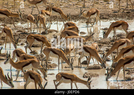 Springbok herd at Salvadora waterhole waiting for courage to go and drink, because lions are lying on a bush nearby, Etosha National Park, Namibia