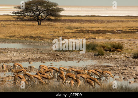 Springbok herd drinking at Salvadora waterhole, with a couple of lions lying near a bush in the background, Etosha National Park, Namibia
