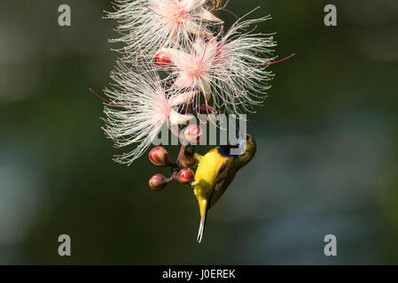 Olive-backed Sunbird feeding on nectar in the gardens of Khoo Teck Phuat Hospital, Singapore. - Stock Photo