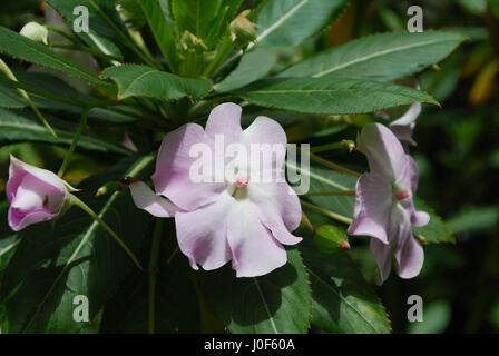 Pretty pale pink and white impatient flowers in bloom. - Stock Photo