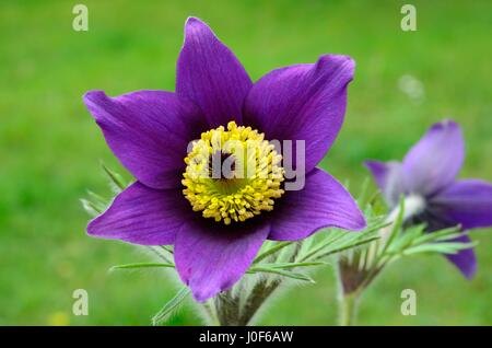 Pulsatilla vulgaris pasqueflower or meadow anemone flower flowers - Stock Photo
