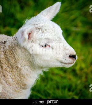 Portrait of a young lamb in the Scottish borders - Stock Photo