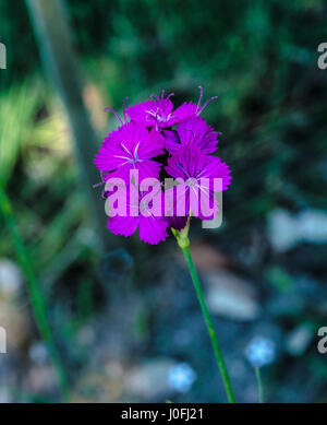 Carthusian , Dianthus carthusianorum_Botanical garden KIT Karlsruhe, Baden Wuerttemberg, Germany - Stock Photo