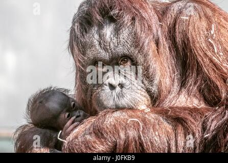 Orangutan's and new born at Twycross Zoo, Leicestershire. - Stock Photo