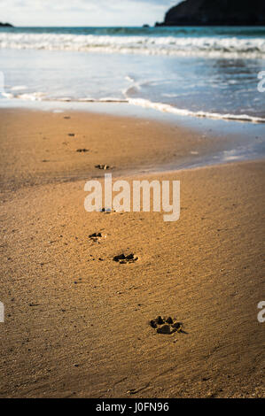 Dog paw prints in the sand along the shore on a beautiful beach in Cornwall England - Stock Photo