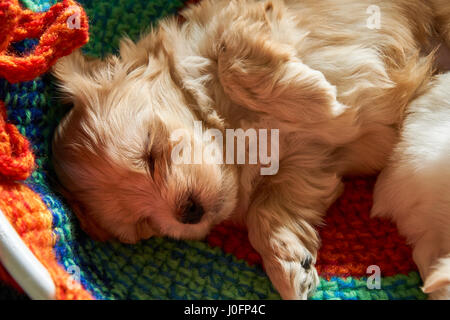 Small havanese puppy sleeping on bed. - Stock Photo