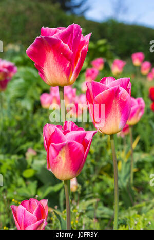 Pink tulips (Tulipa) in full bloom in Spring in West Sussex, England, UK. - Stock Photo