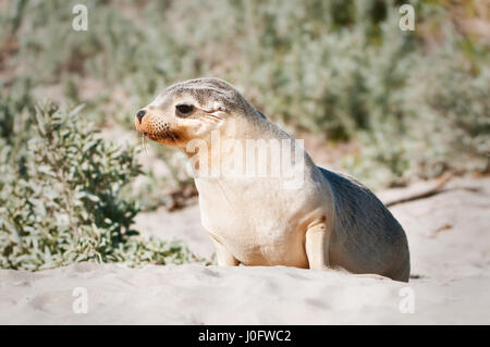 Juvenile Australian Sea-lion curiously looking. - Stock Photo