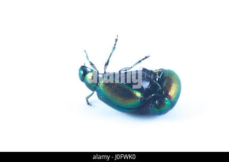 Mint leaf beetles, female, upside down, green metallic color (Chrysolina herbacea) in the family of Chrysomelidae - Stock Photo