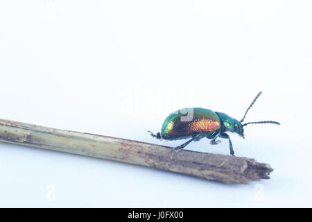 Caucasian green beetle with green red orange metallic color (Chrysolina herbacea) in the family of Chrysomelidae - Stock Photo