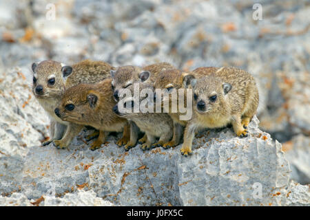 A group of young Rock hyrax Procavia capensis Namibia March - Stock Photo