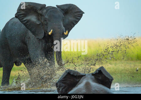 Elephant play charging other elephant, Chobe Nat Pk, Botswana, Africa - Stock Photo