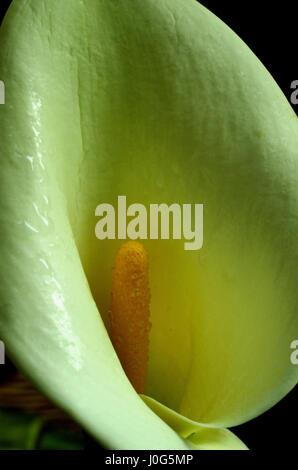 Water aurum (calla palustris) - Stock Photo
