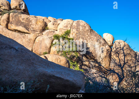 Pine tree among rock formations on the Barker Dam Loop Trail. Joshua Tree National Park, California, USA. - Stock Photo