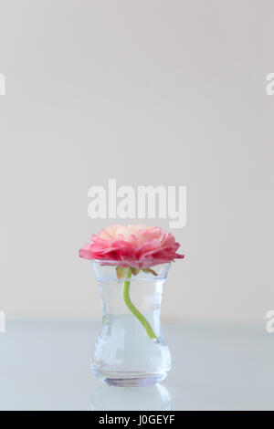 Pink ranunculus in small glass vase  - Stock Photo