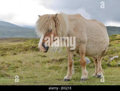Wild Eriskay pony (Equus ferus caballus) on South Uist, Outer Hebrides, Scotland, UK - Stock Photo