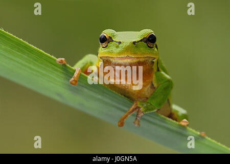 European Tree Frog / Europäischer Laubfrosch ( Hyla arborea ), adult male, sitting on a reed leaf, frontal view, - Stock Photo