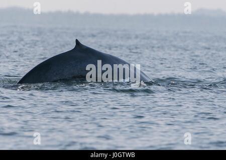 The sperm whale (Physeter macrocephalus) or cachalot, Trincomalee, Sri Lanka - Stock Photo