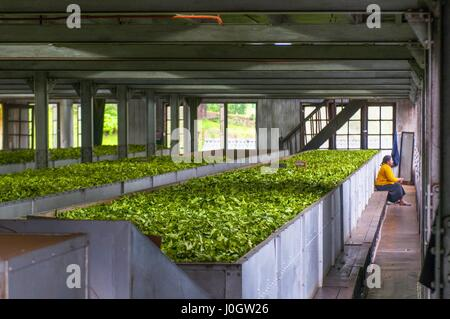 Freshly picked tea being prepared for drying in a tea plantation in Nuwara Elyia district, Sri Lanka - Stock Photo