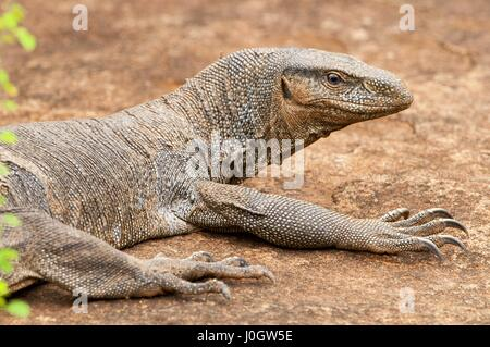 Monitor lizard (Varanus), Sri Lanka, Yala National Park - Stock Photo