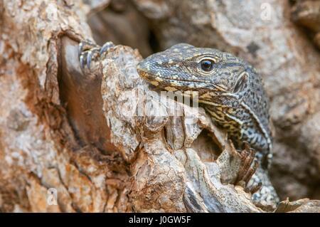 Monitor lizard (Varanus) looking out of a tree hole, Sri Lanka, Yala National Park - Stock Photo