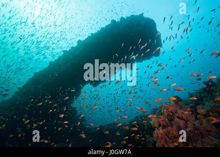 Lyretail Anthias over Coral Reef, Pseudanthias squamipinnis, North Male Atoll, Maldives - Stock Photo