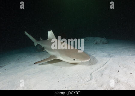 Blacktip Reef Shark, Carcharhinus melanopterus, Felidhu Atoll, Maldives - Stock Photo
