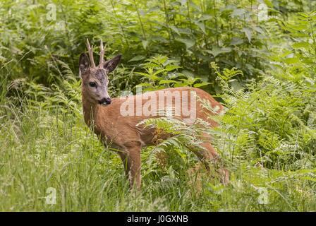European Roe Deer (Capreolus capreolus) buck standing amongst vegetation in Tatrzanski National Park, Poland. - Stock Photo