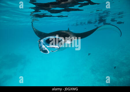 Reef Manta, Manta alfredi, Felidhu Atoll, Maldives - Stock Photo