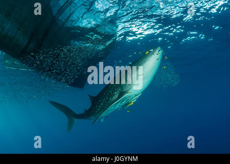 Whale Shark underneath Fishing Platform, Rhincodon typus, Cenderawasih Bay, West Papua, Indonesia - Stock Photo