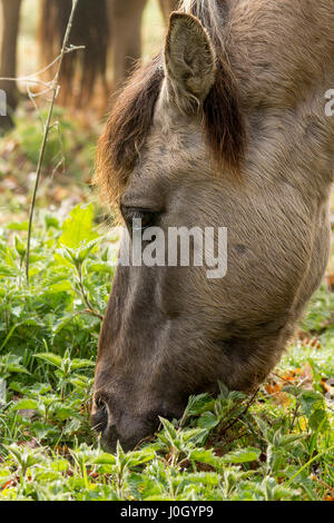 Pony grazing close up misty morning wet dew on plants and vegetation. Head shot munching on short grasses and plants. - Stock Photo