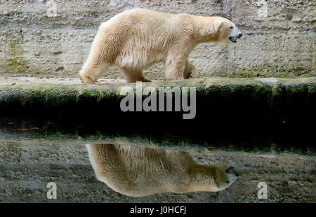 Munich, Germany. 07th Nov, 2014. (FILE) · An archive picture, dated 07.11.2014, shows the polar bear 'Yoghi' walking - Stock Photo