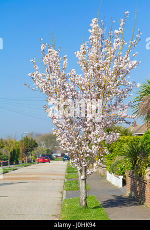 Pink blossom on a small tree in a residential road in Spring, in the UK. Stock Photo