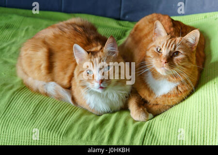 house cat on the sofa resting, beautiful clean red cat - Stock Photo