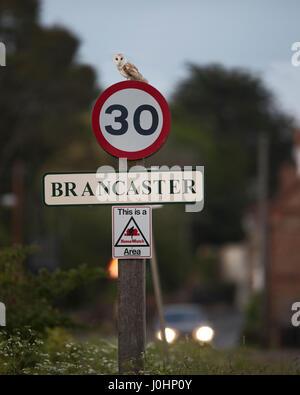 Barn Owl Tytp alba on 30 mph speed limit sign at Brancaster North Norfolk - Stock Photo