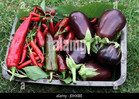 Freshly picked homegrown Black Beauty eggplants and chilis - Stock Photo