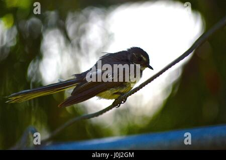 Grey fantail on a washing line wire - Stock Photo