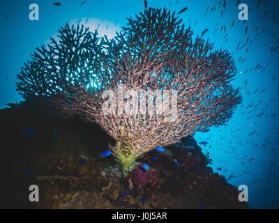 Weno, Micronesia. 14th Feb, 2016. Heian Maru Coral - Truk Lagoon. Credit: Alessandro Bosio/Pacific Press/Alamy Live - Stock Photo