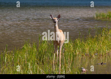 Whitetail deer / white-tailed deer (Odocoileus virginianus) female / doe at lake shore, Canada - Stock Photo