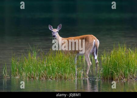 Whitetail deer / white-tailed deer (Odocoileus virginianus) female / doe eating water plants / aquatic plant in - Stock Photo