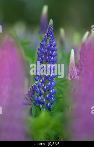 Large-leaved lupine / big-leaved lupine / many-leaved lupine (Lupinus polyphyllus) flowering, native to western - Stock Photo