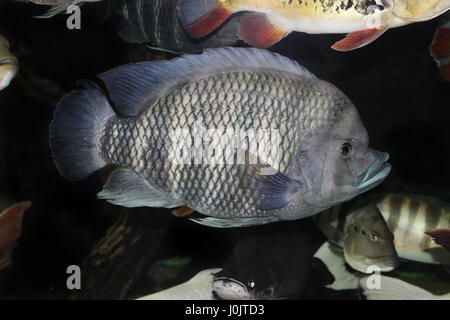 Tilapia length 50 cm in the aquarium - Stock Photo